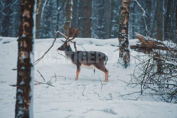 Wildlife In De Sneeuw 1