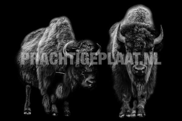 Bison Black Background