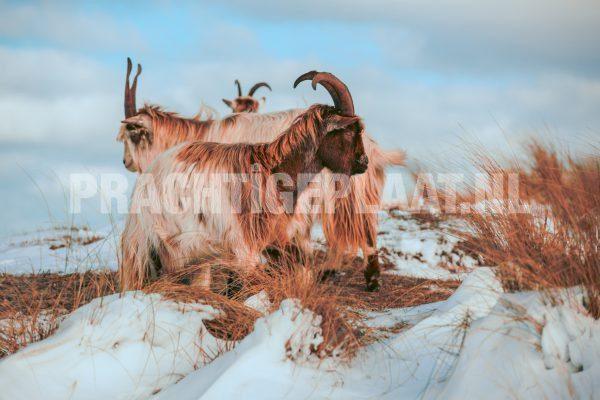 Wildlife In De Sneeuw 2
