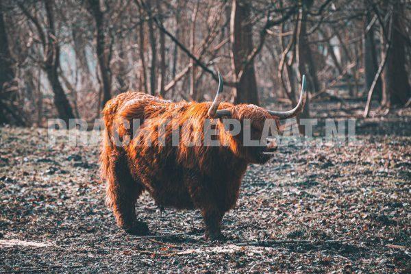 Schotse Hooglanders 4