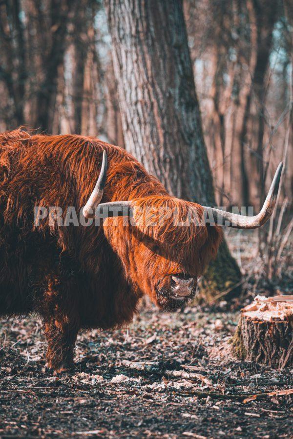 Schotse Hooglanders 5