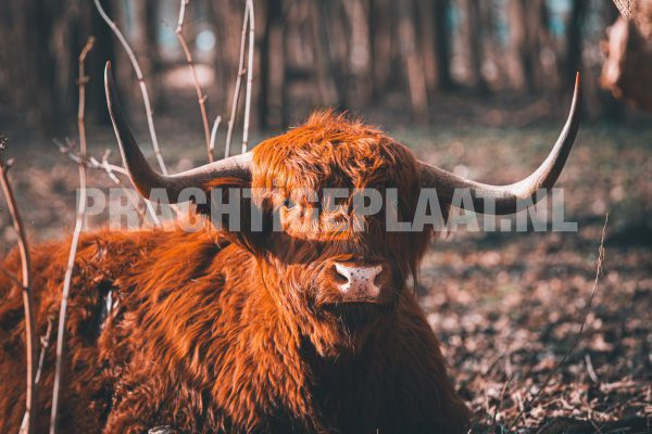 Schotse Hooglanders 6