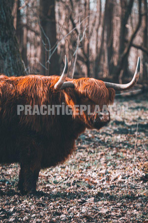 Schotse Hooglanders 7