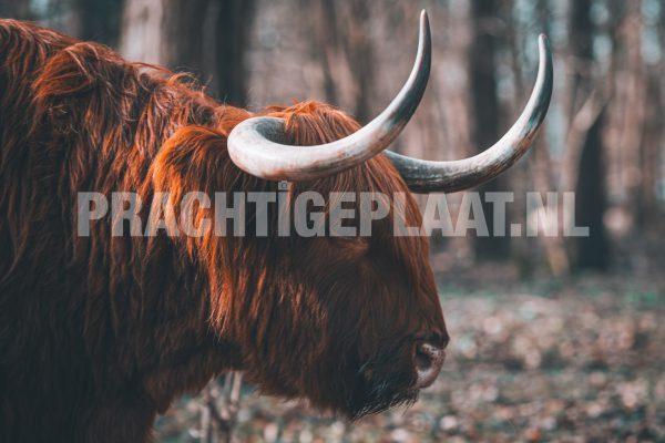 Schotse Hooglanders 9