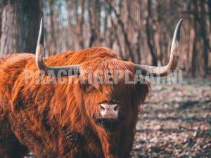 Schotse Hooglanders 10