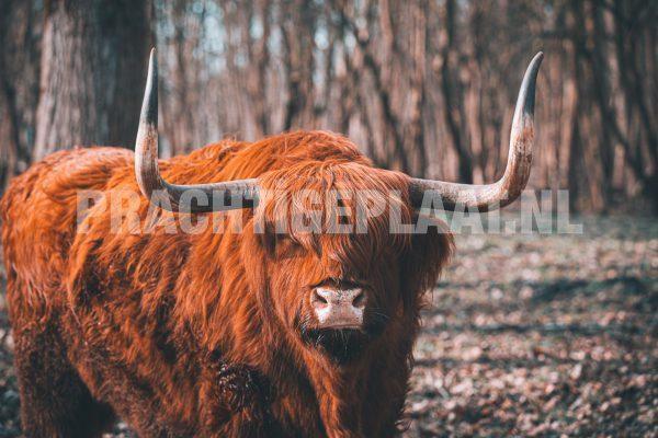 Schotse Hooglanders 2