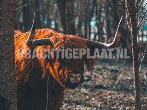 Schotse Hooglanders 11