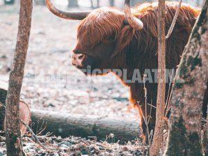 Schotse Hooglanders 12