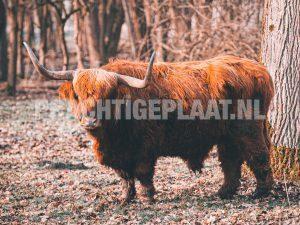 Schotse Hooglanders 13