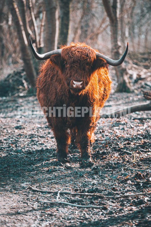 Schotse Hooglanders 14