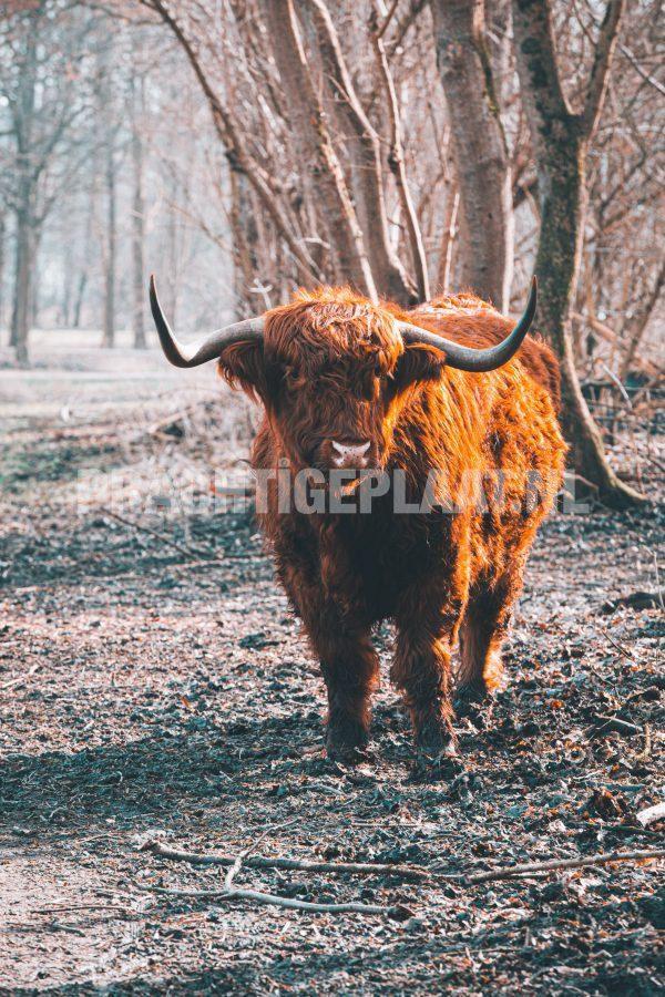 Schotse Hooglanders 15