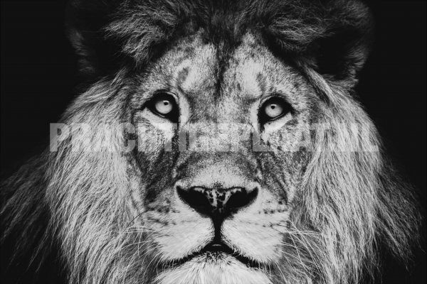 Mister Lion